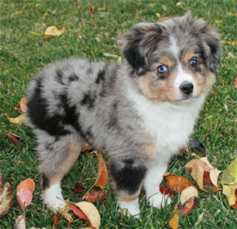 blue merle miniature australian shepherd puppies for sale mini australian shepherds