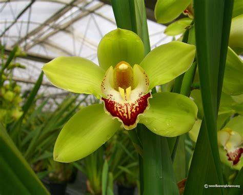 flower wallpaper cymbidium orchid wallpaper