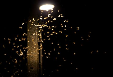 To Light by Insect Light