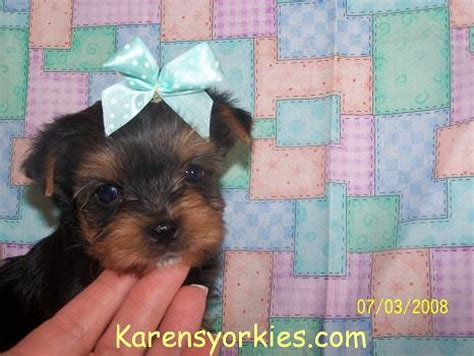 baby teacup yorkies for free baby yorkie puppies for free 4k wallpapers