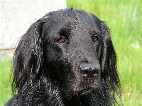 the flat coated retriever file flat coated retriever molly2 jpg wikipedia