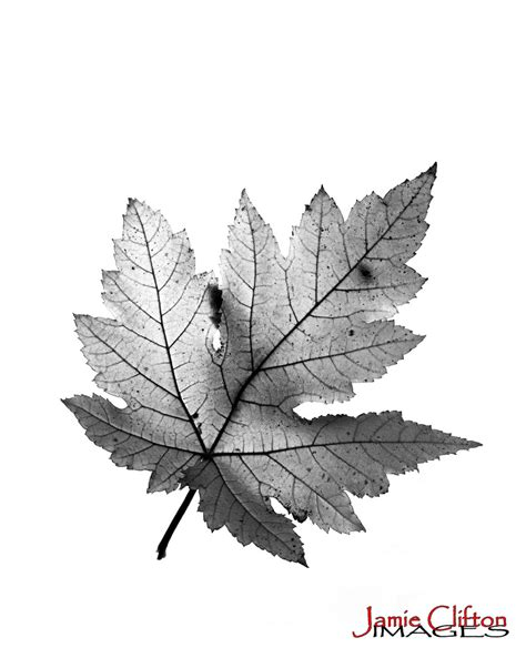 Maple Hitam maple leaf black and white background 01 2012 maple