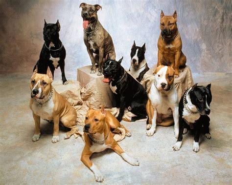 breeds for pitbull breeds amstaffs american bullies standard apbt s