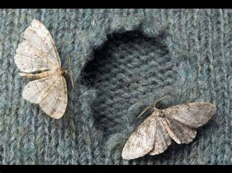 Pictures Of Moths That Eat Clothes no more moths your clothes