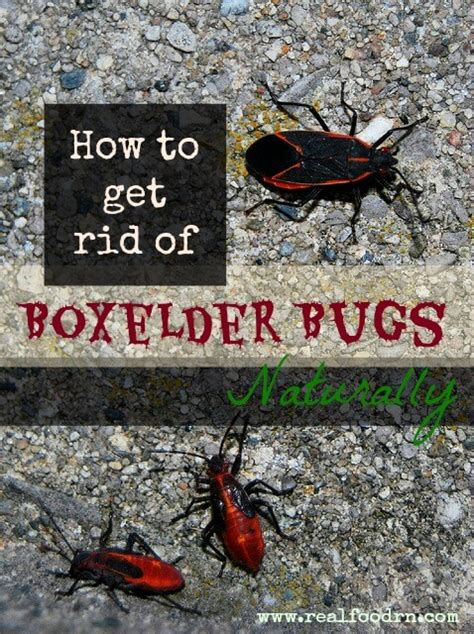 How To Get Rid Of Backyard Bugs by How To Get Rid Of Boxelder Bugs Naturally