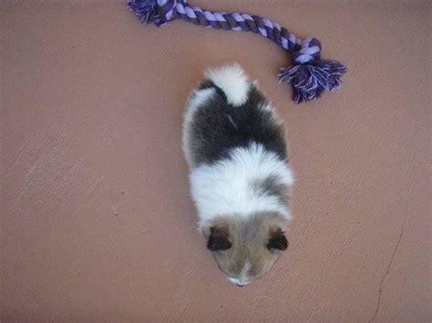 pomeranian miami pomeranian puppy for sale adoption from miami lakes florida miami dade adpost