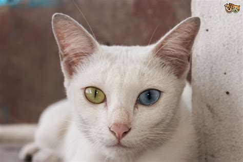 and cat breeds and cat breeds pets4homes