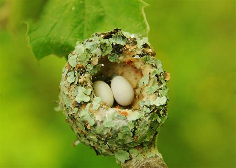 ruby throated hummingbird nest the nature of delaware