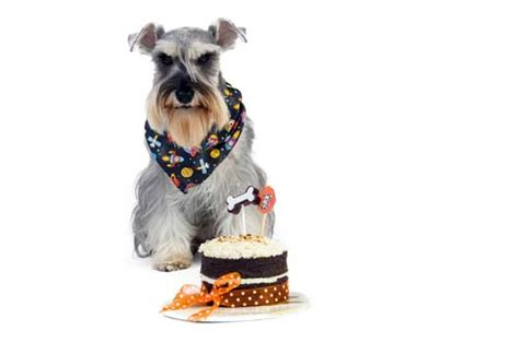 can dogs eat cake can dogs eat cake taking a look at benefits and side effects