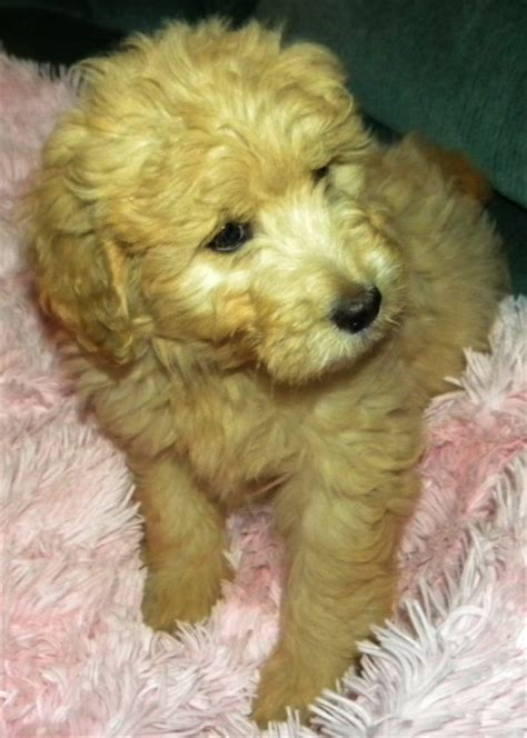 goldendoodle puppy washington nala f1 goldendoodle aussiedoodle and labradoodle