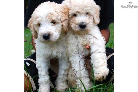 mini doodle virginia labradoodle puppy for sale near fredericksburg virginia