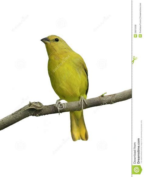 canaries bird yellow stock photos yellow bird royalty free stock photos image 28815508