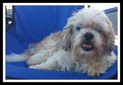 shih tzu rescue southern california winchester ca shih tzu lhasa apso mix meet mr magoo a for adoption