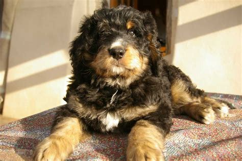 bernese poodle puppy bernedoodle boy bernese and poodle cross exeter pets4homes