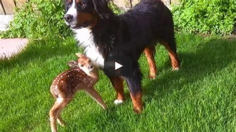 rescues deer baby deer rescue and release