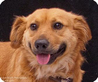 golden retriever adoption seattle looking for adopted seattle wa golden retriever spitz mix