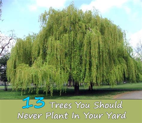 yard tree 13 trees you should never plant in your yard home and