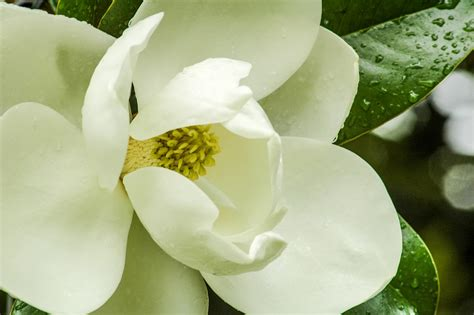 free photo magnolia flower magnolia tree free image on pixabay 1113663