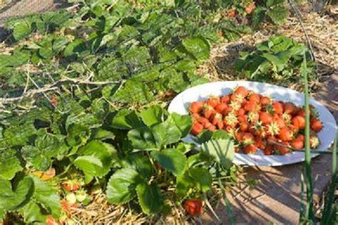 Tempat Jual Bibit Strawberry Di Bandung menanam strawberry di dataran rendah bisakah