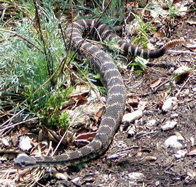 by ruth palmer piles of reptiles pinterest 10 best images about my study of snakes i have wrangled on