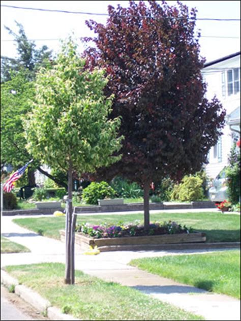 purple leaf trees identification njdep new jersey department of environmental protection