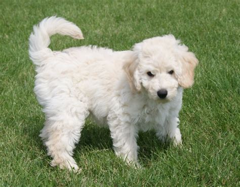 mini goldendoodles mini golden doodle breeds picture