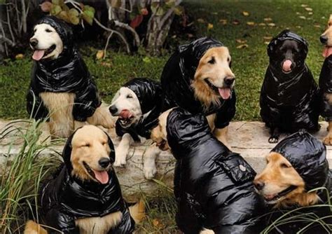 bruce weber golden retriever photos coats for pooches bruce weber makes moncler coats for his dogs