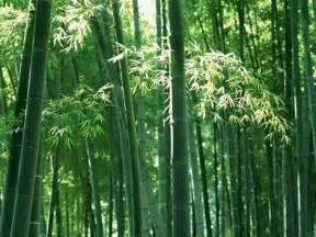 how to grow bamboo plants garden how