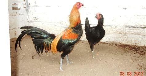 gallos peruanos de venta gallos peruanos de venta newhairstylesformen2014 com