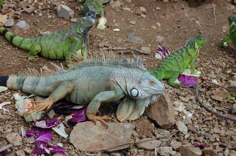 alimentazione iguana l iguana come animale domestico
