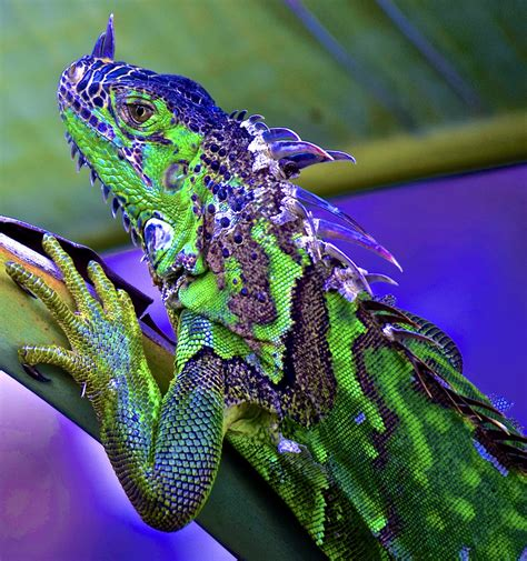 Iguana L iguana patterns and colors enjoy big this almost 4 ft