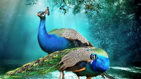 most beautiful size hd wallpapers beautiful background peacock pair hd wallpaper beautiful