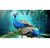Beautiful Background Peacock Pair Hd Wallpaper