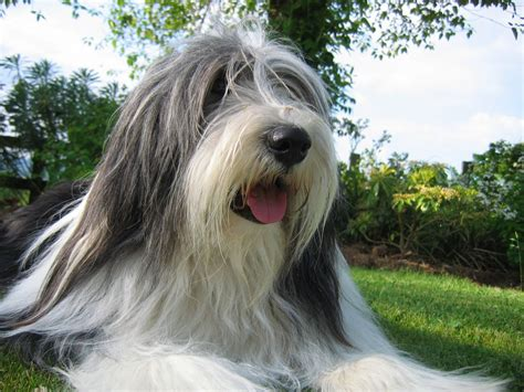 bearded collie puppy pedigree bearded collie puppies for sale shaftesbury dorset pets4homes