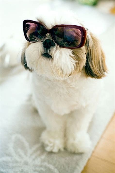 shih tzu sunglasses shih tzu with sunglasses 35 stunning photo manipulations that are truly inspiring