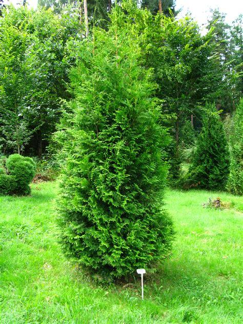 thuja occidentalis brabant file podlaskie suprasl kopna gora arboretum thuja