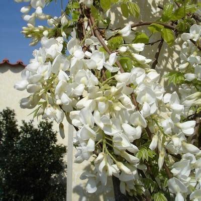 blauwe regen kopen boskoop blauwe regen wisteria sinensis boskoop planten