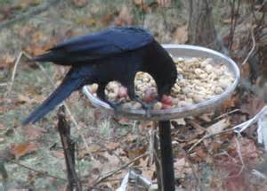 Old Dog Going Blind Food And Feeding Habits Of The American Crow Corvus