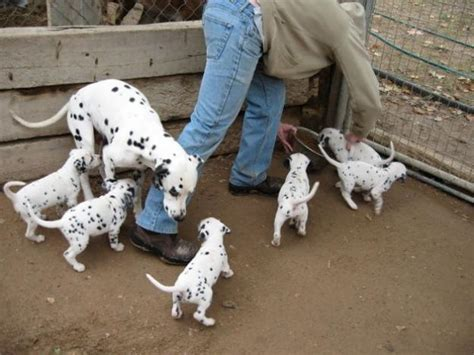 puppies for adoption ta dalmatian sale singapore dalmatian puppies buy buy dalmatian breeders dalmatian