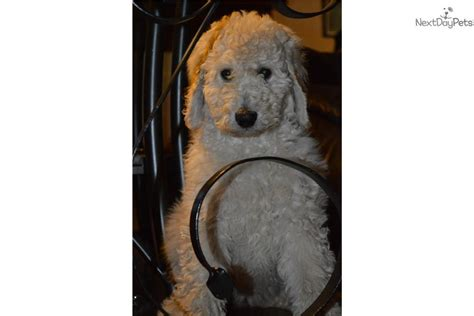 doodle puppies for sale in iowa goldendoodle puppy for sale near southeast ia iowa