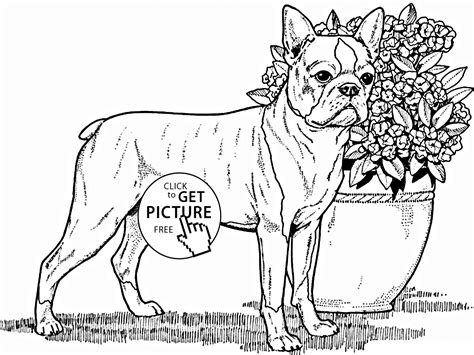 boston terrier coloring page boston terrier coloring page for animal coloring