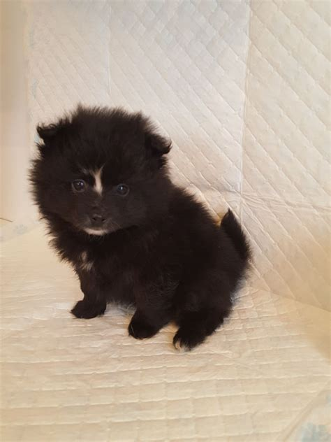 fluffy pomeranian puppies adorable fluffy pomeranian puppies manchester greater manchester pets4homes