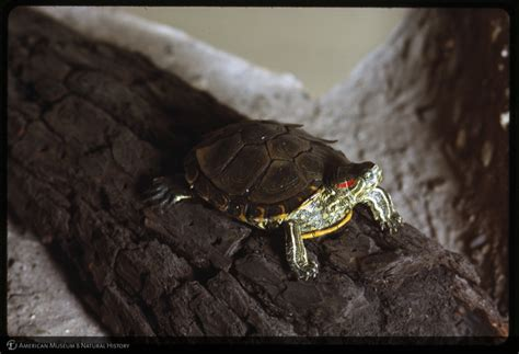 Turtle Shedding by Amnh Digital Special Collections Slider Turtle Skin