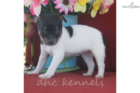 blue rat terrier puppies for sale blue fawn rat terrier blue fawn color rat terrier puppies for sale breeds picture