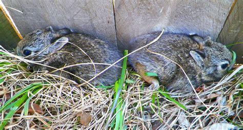 what to do with baby bunnies in backyard what to do if you find a baby rabbit in your yard this spring