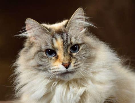 ragdoll cat breed ragdoll breed characteristics and information iamcasper