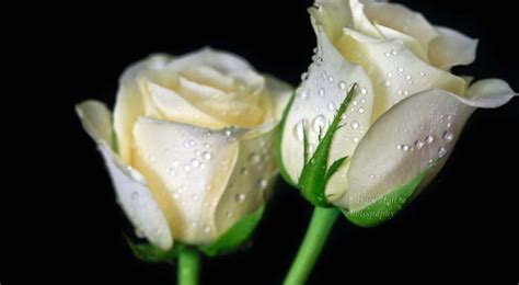 White Roses white roses images beautiful hd wallpapers