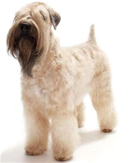 soft coated wheaton terrier haircuts 25 best ideas about wheaten terrier on pinterest breeds