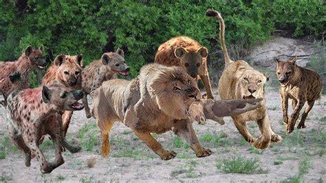 hungry lion hunting  baby hyena  food leopard  antelope baboon lion  bear hyenas