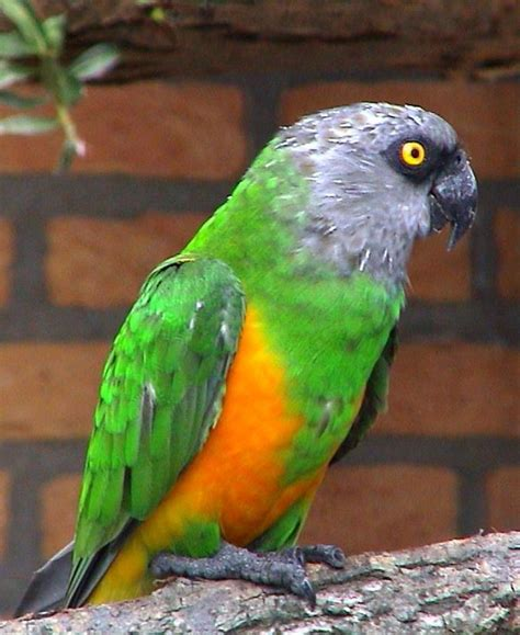 kissh missh the beautiful colour of parrots